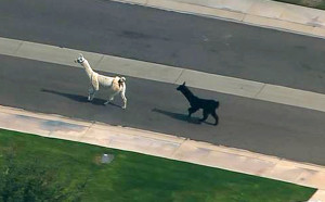 APTOPIX ODD Llamas On The Loose